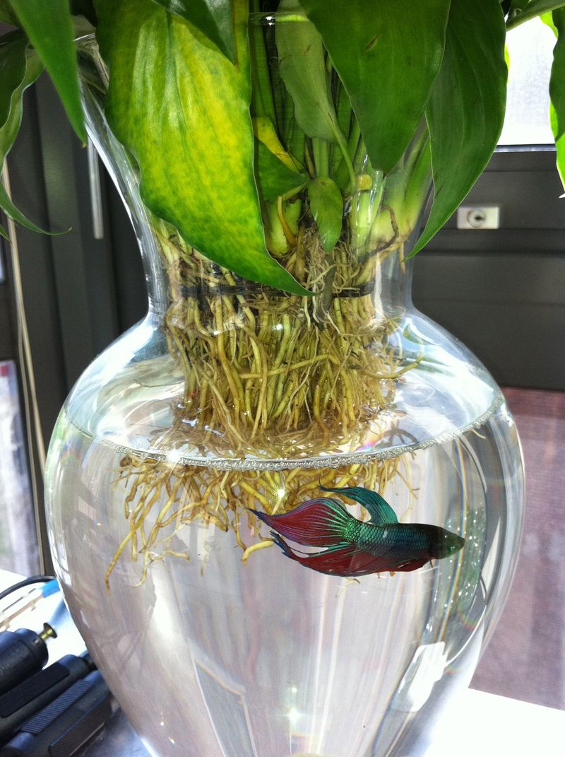 The gallery for betta fish bowl ideas for Betta fish bowl ideas